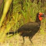 Southern Ground Hornbill in ZIM