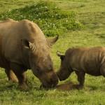 Playfull black rhino - Kruger National Park