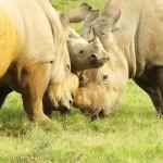 Rhino Family Bonding