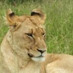 Lioness @ Kruger National Park
