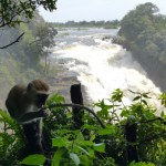 Vervet Monkey @ Victoria Falls